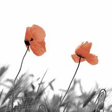 Duni Servietten Tissue Two poppies 33 x 33 cm 20 Stück